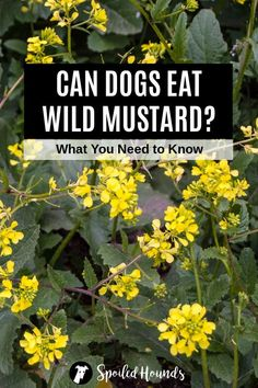 Can dogs eat mustard? Keep your dog safe and find out what you need to know about dogs eating prepared mustard, mustard seeds, mustard greens, and wild mustard. #dogsafety #doghealth #dogs #doglovers #doginformation #dogownertips #pethealth #mustard