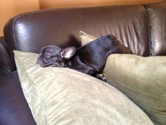 French Bulldog Puppy Sleeping, cuteness overload ; )
