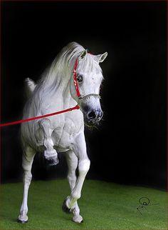 Arabian horse Egyptian show performance native costume