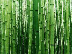 High resolution development desktop wallpaper of Bamboo, Poaceae (ID: Et Wallpaper, Bamboo Wallpaper, Nature Wallpaper, Maria Conga, Theme Nature, Japanese Nature, Japanese Gardens, Japanese Paper