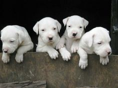 Dogo Argentino puppies