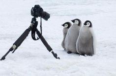 【画像】ペンギンは二足の物体見ると仲間だと思って挨拶に来るらしい