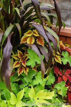 Another container combo, with 'Jester' millet (Pennisetum glaucum), 'Spitfire' coleus, and peppermint geranium (Pelargonium tomentosum) [Nancy J. Ondra/Hayefield.com]