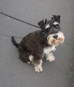 Schnauzer Puppy by Ginger Meggs