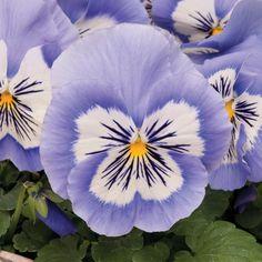 Winter Pansies #gardening #garden #DIY #home #flowers #roses #nature #landscaping #horticulture
