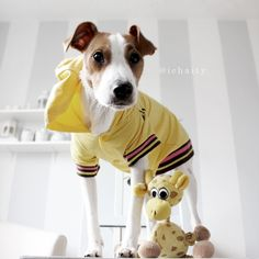 Riley a Jack Russell is modeling his new Fetch hoodie. Also available in pink $19.99 www.fetchdogfashions.com #puppy #dog #dogclothing #dogapparel #dogboutique #dogcouture #petboutique #doghoodie #custommade #designer #cute #cutedog