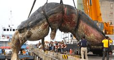 Plastic Bags and Fishing Nets Found in Stomach of Dead Whale - A mature sperm whale found dead in Taiwan had vast quantities of plastic bags and fishing nets filling its stomach, highlighting marine pollution