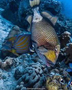 The king of Koh Tao . Titan Trigger Fish Everyone should be take care with them. They are super territorial fish. They dont like that you be close to her eggs. So Be careful with him. Im alert to you  They could bite to you if they are feeling invaded.
