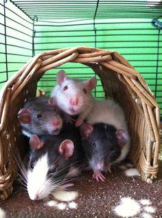 cuddle puddle #rats