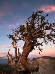 9 Photos of the Oldest Trees on the Planet, Older Than the Pyramids in Egypt. This 1st one is on top of the White Mountains in California Inyo National Park. The others are in Calif., Nev, Utah, Mexico, Arizona & Colorado.