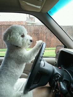 Bichon Frise driving. this is what Polly looks like on our road trips.
