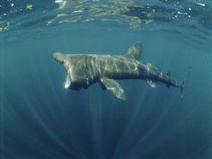 Basking shark, one of Justins favorites