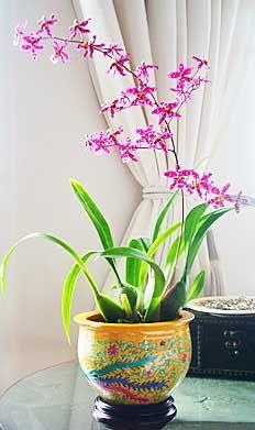 Care of Oncidium Orchids