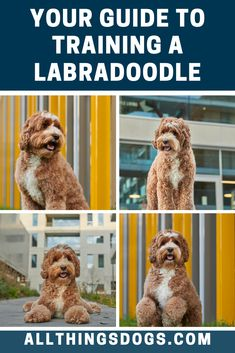 "Known to be one of the smartest designer dog breeds, this mix is super trainable! As an intelligent dog, the Labradoodle catches onto training sessions very quickly and usually picks up basic commands such as ""sit, stay and down"" within days. Read our Labradoodle training guide for more.  #labradoodle #labradoodletraining #labradorpoodlemix"