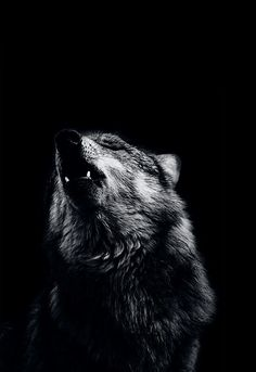 """""""And this is what happened, ands this is why the caribou and the wolf are one; for the caribou feeds the wolf, but it is the wolf that keeps the caribou strong. Wolf Love, Bad Wolf, Beautiful Creatures, Animals Beautiful, Cute Animals, Majestic Animals, Wild Animals, Wolf Spirit, My Spirit Animal"""