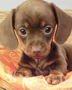Dachshund puppy....its head is so big, and its body is so small....oh my goodness this is adorable.