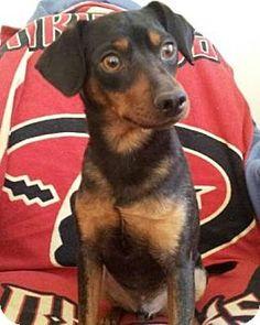 Gilbert, AZ - Miniature Pinscher/Manchester Terrier Mix. Meet Marco, a dog for adoption. http://www.adoptapet.com/pet/13760129-gilbert-arizona-miniature-pinscher-mix