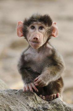 Baby baboon. (Tilly Meijer)