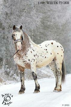 Noriker stallion White Tiger