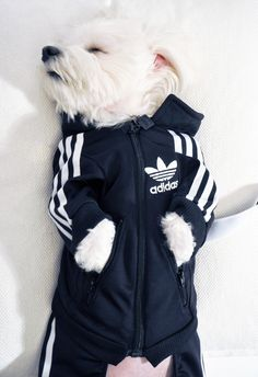 OK, here's the full story of how that doggie got his own, made-to-measure adidas tracksuit http://luxirare.com/rocky-x-adidas/