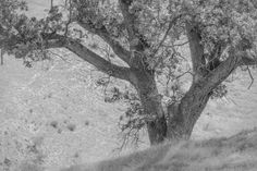 Wind Wolves:  Oak in Monochrome by Wayne Wong on Capture Kern County // Captured this out the side window as we approached the old house and barn on our sunrise to sunset  adventure at Wind Wolves.