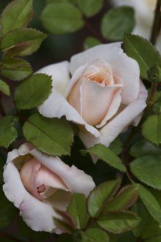 'Crocus'   David Austin English Rose. Austin, 2000   Flickr - © Juliette