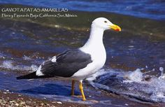 The Yellow-footed Gull (Larus livens)  Pic from https://www.facebook.com/raulverdugovillarino/