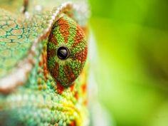 El ojo de un camaleón