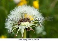 Image result for dandelion clock closeup