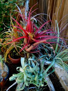 >Bromeliads are one of the best kept secrets in the plant world. My goal is to introduce you to the wonderful world of bromeliads and try to let you know what you are&nbsp… Texas Gardening, Gardening Tips, Succulent Frame, Root Structure, Air Plant Display, Organic Soil, Mother Plant, Low Maintenance Plants, Rare Plants