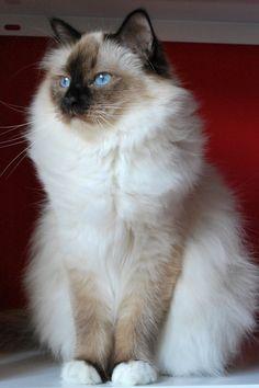 Birman is a domestic cat