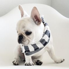 frenchies and scarves, there's nothing more i would want