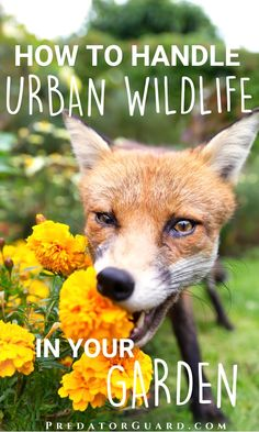 How to deal with urban wildlife - Predator Guard - Predator Deterrents and Repellents Wild Animals Attack, Animal Attack, Getting Rid Of Raccoons, Meat Rabbits, Raising Goats, Raising Backyard Chickens, Hobby Farms, Garden Pests, Grow Your Own Food