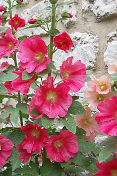 My grandmother had hollyhocks growing beside the well when I was a child. Brings back fond memories....