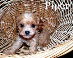 labrador retriever and chihuahua mix cuteness overload pinterest rh pinterest com