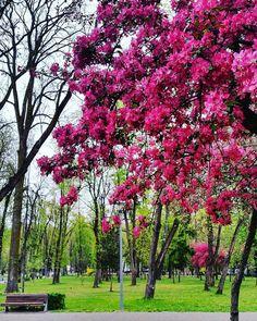. . . . . . . . . . . . . . . . . . . . . . . . . . . . .  #photography #ig_romania #nature #landscape #instadaily  #cluj #romania #vscocam #me  #clujnapoca #clujlife #cluj_life #clujnapoca_city #transylvania #romaniapitoreasca #artofvisuals #aov5k #photooftheday #spring #leaf #color #pink #flowers #park  #city #vsco #vscophile #tree #descoperaromania @fubiz #designcollector