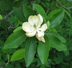 Sweetbay Magnolia Care: Tips For Growing Sweetbay Magnolias