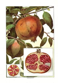 1911 Antique Food Print Fruit Print Pomegranate Kitchen Decor Antique Food 11 X 8 1/2 Antique Art Prints
