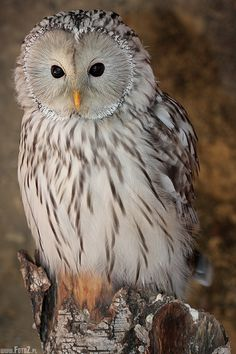 This is such a beautiful creature.... I just stare at her.....Ural owl
