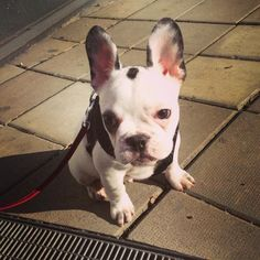 Bjarne, the French Bulldog Puppy❤️ Bulldog Puppies, Boston Terrier, French Bulldog, Drawings, Dogs, Animals, Sketches, Animales, Boston Terriers