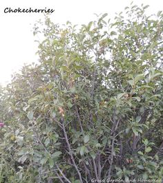 Information on chokecherries. Where to find them, identifying their flowers and berries, which parts are edible and most importantly, what to do with them. Additional foraging resources as well.