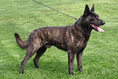 Dutch Shepherd Puppy, Shepherd Puppies, Doggies, Dogs And Puppies, Belgian Malinois Dog, Different Dogs, Working Dogs, Cher, Adorable Animals