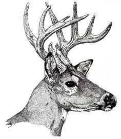 Deer Drawing - Ten Point Buck by Debra Sandstrom Hirsch Illustration, Deer Illustration, Animal Sketches, Animal Drawings, Art Sketches, Dotted Drawings, Pencil Art Drawings, Fish Drawings, Deer Drawing