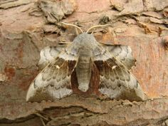 03.06.2014 - 61 moths, 21 species.... 1 Poplar hawk moth (NFY), 1 Spectacle (NFG), 1 Barred Hook-tip (NFG), 1 Flame shoulder (NFY), 1 Small square-spot (NFY), 1 Freyer's pug (NFY), 3 Marbled minor agg. (NFY), 1 Flame carpet, 1 Brown silver-line, 1 Buff tip, 1 Common carpet, 1 Buff ermine, 2 Peppered moth, 2 Clouded bordered brindle, 3 Garden carpet, 3 Common marbled carpet, 3 Light brown apple, 6 Brimstone, 7 Scalloped hazel, 13 Heart & dart & 8 pugs.... probably common pugs.