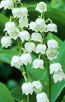 Brabourne Farm: Love .... Lily of the Valley