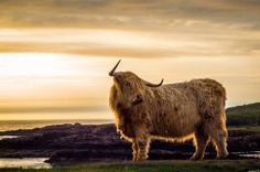Highland coo in Clachtoll, Highlands. Thx Alessandro Boccolini for sharing! But what's she looking at? via @VisitScotland