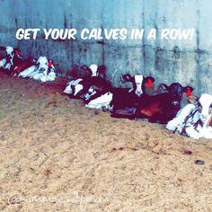 """Get your calves in a row! #8 #calves #inarow #calfpin #futuremilkmaker #dairybabies #red #eartag #dairyfarming #tndairyfarm #simmons2farm"""