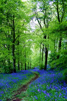 """tulipnight: """" Bluebell Path by Euan Christopher """""""