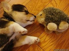 puppy and hedgehog.... cuteness overload!!!!!!!