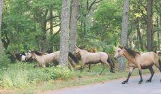 buckskins: Chincoteague wild pony roundup